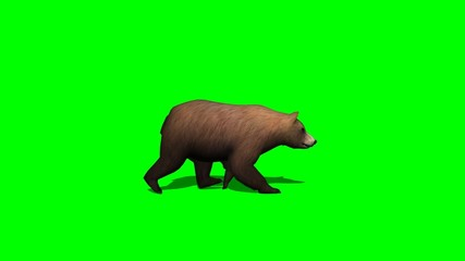 brown bear walks - 2 different views- green screen
