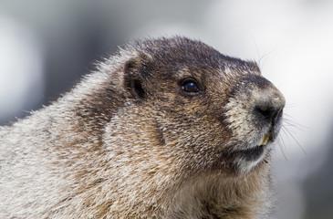 Portrait of Hoary Marmot