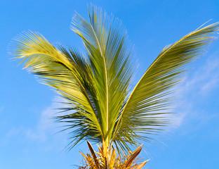cime d'un cocotier trop élagué
