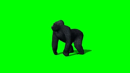gorilla stands and looks around - 2 different views -