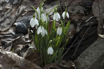 Bunch of snowdrops flowers in the garden, heralds of spring.