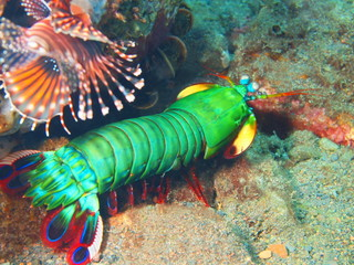 Mantis shrimp, Island Bali, Tulamben