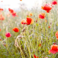 Vivid poppy field in evening sun light
