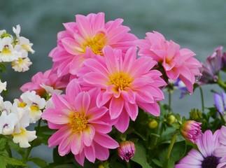Magenta pink dahlia flowers