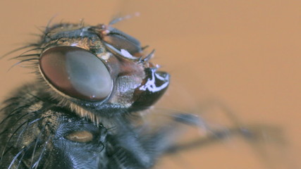 House fly magnification