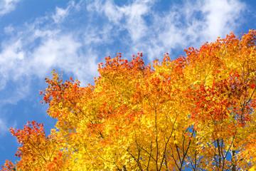 黄色からオレンジ色のオオモミジの紅葉