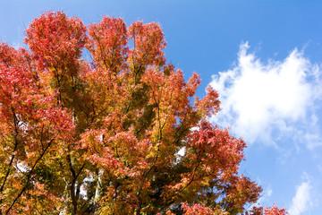 イロハカエデの紅葉と空