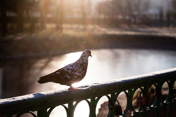 One pigeon on the railing