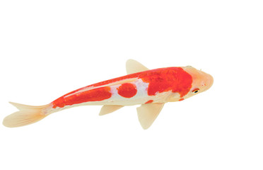 Koi fish isolated on white background