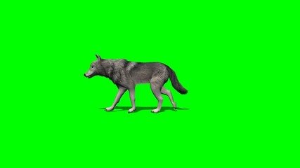 wolf walks fast - with and without shadow - green screen