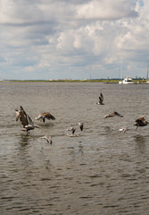 Seagulls and Pelicans Skimming Across Water