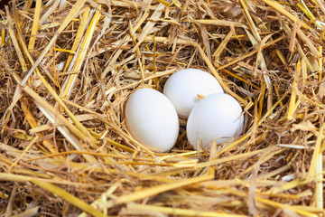 Chicken eggs in the nest
