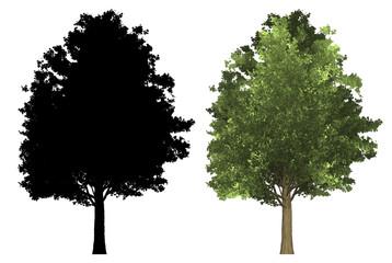 Ahorn Baum mapple tree