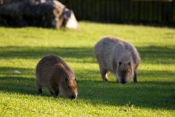 capybaras on green grass