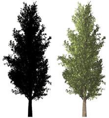 schwarzpappel black poplar