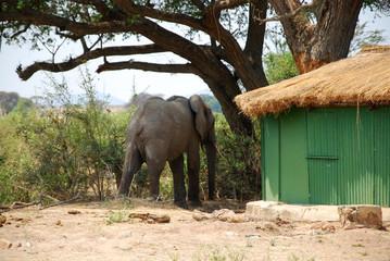An elephant between the bungalows in the savannah-Tanzania-Afric