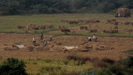 Harvesting rice in India