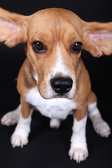 Beagle dog on dark background