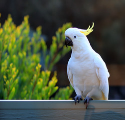 Pending cockatoo