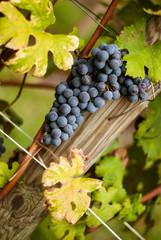 Grappolo d'uva pronto per la vendemmia