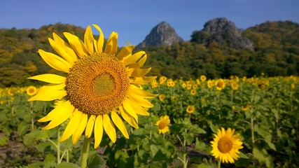 sunflower in a filed with mountain background