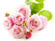 Beautiful pink roses isolated on white
