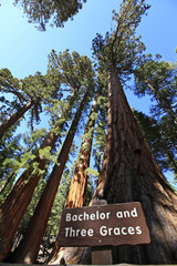 séquoia géant, mariposa grove, yosemite