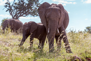 elephant family walking in the savanna