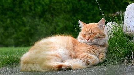 Sleepy ginger cat resting in the green grass