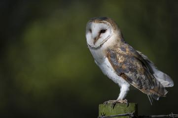 Woodland Barn Owl 4