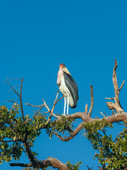 Marabou Stork sitting on a branch against the blue sky