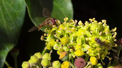A marmalade hoverfly (Episyrphus balteatus) harvesting pollen