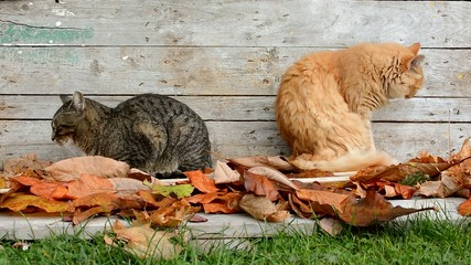 Two cats in the garden in autumn leaves