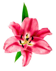 pink lily blossom. fresh flower head