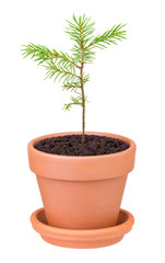 pine sprout growing in a flower pot on white background