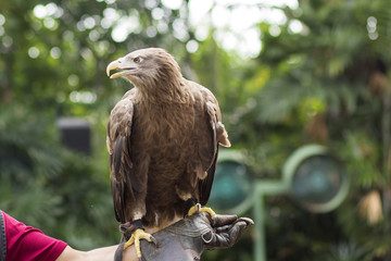 Eagle Standing on the trainer's hand in the bird show