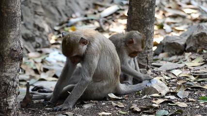 Monkey reclining in forest. HD