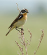 Whinchat on the plant