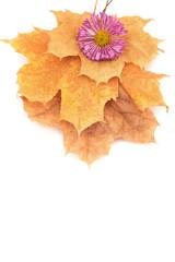 purple chrysanthemums on yellow autumn leaves