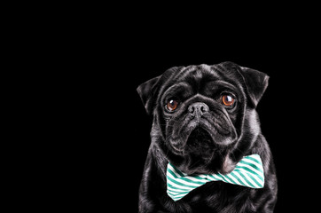 Black Pug with a bow tie