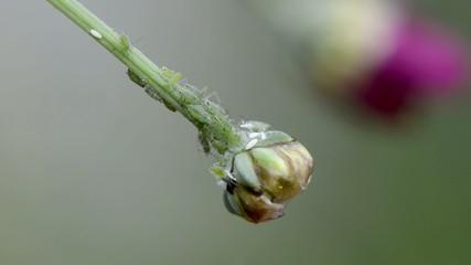 Blume mit Blattläuse