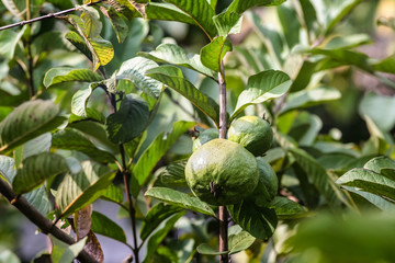 Guavas tree