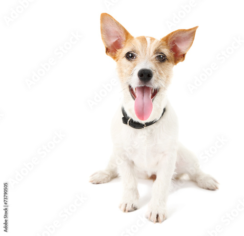 Papiers peints Chien Funny little dog Jack Russell terrier, isolated on white