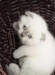 British lop-eared kitten in a straw wicker basket