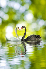 black and white swans in the shape of heart closeup