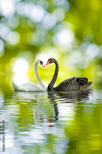 Foto op Canvas Zwaan black and white swans in the shape of heart closeup