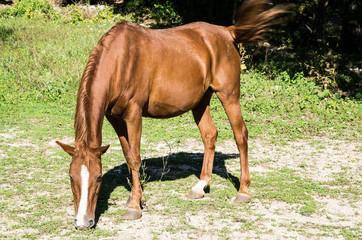 cavallo che bruca