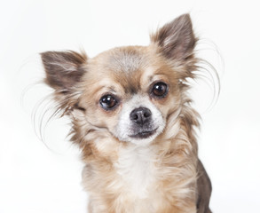 chihuahua head isolated