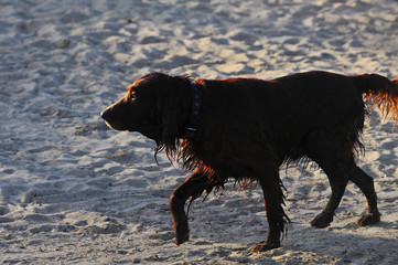 Irish Setter running on a beach