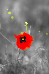 Red poppy flower outdoors